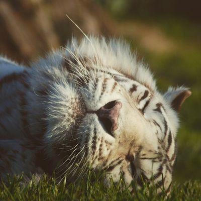 Tiger Hobbes