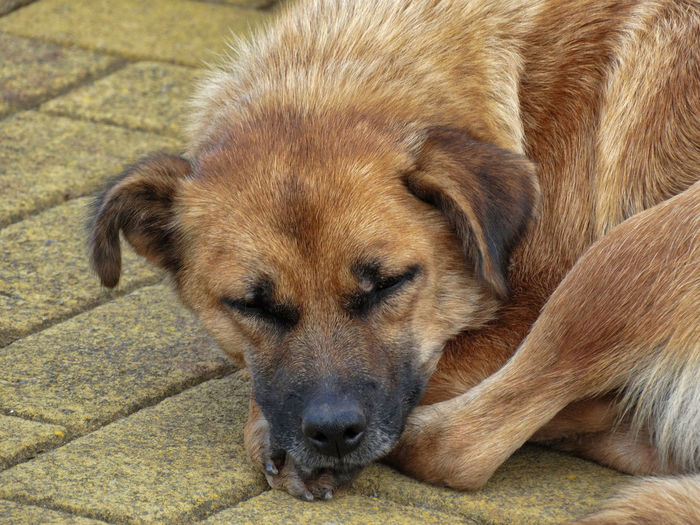 Sleepy dog laying down. One Animal Mammal Canine Animal Themes Animal Dog Domestic Pets Relaxation Domestic Animals No People Close-up Lying Down Vertebrate Portrait Brown Animal Head  Resting Day Animal Body Part Contemplation Dogs Sleeping