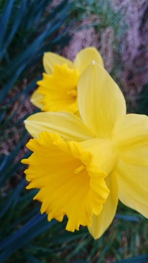 Yellow Flower Flower Head Close-up Petal Nature Fragility Beauty In Nature Soft Focus Plant Freshness No People Outdoors Day Narcissus Narcissus Flowers Just Flowers Flowers