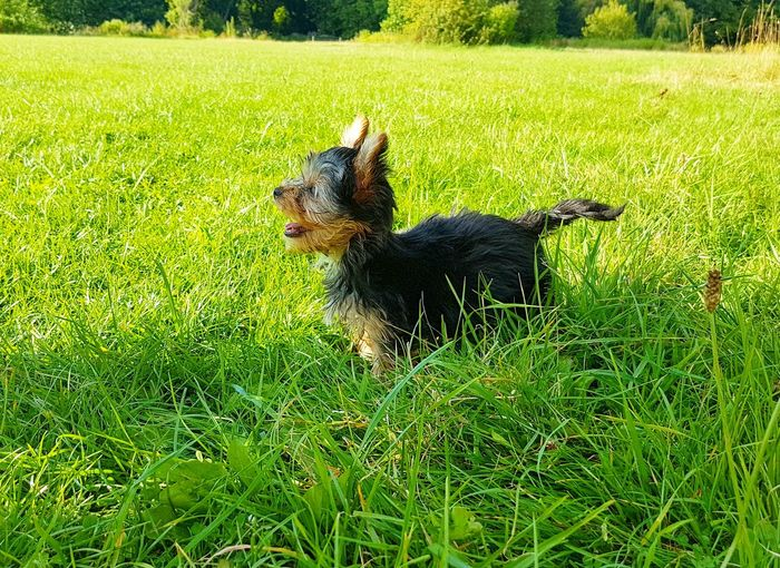 Puppy in the grass Puppy Dogs Of EyeEm Dogs Dogslife Green Grass Nature Pets Dog Field High Angle View Grass Green Color Grassland Young Animal Yorkshire Terrier Terrier Lap Dog Summer Exploratorium