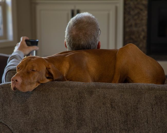 Nap time Dog Vizsla Rear View Relaxation Mammal Real People Canine Dog Indoors  Pets One Animal Men Domestic Animals Lying Down One Person Lifestyles Focus On Foreground