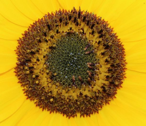 Beauty In Nature Yellow sunflower Really Close Up Flower Yellow Petals Plant Fragility Outdoors No People