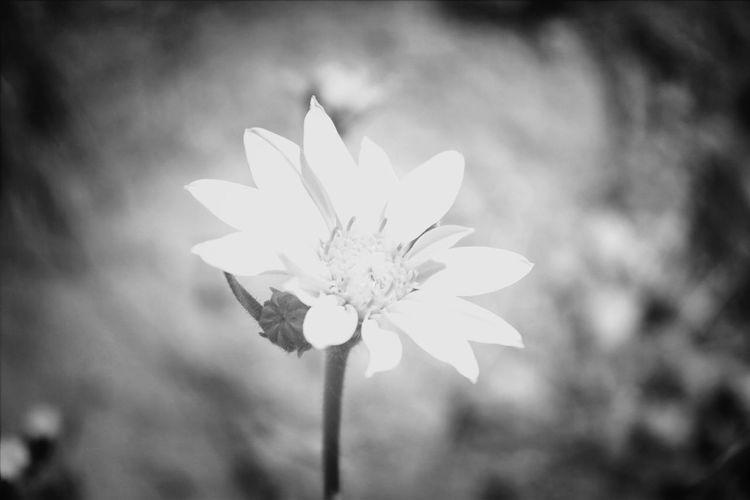 Flowers Nature Blackandwhite ObsessiveEdits