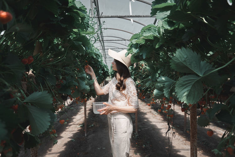 Side View Of Woman Picking Strawberries From Plants In Greenhouse