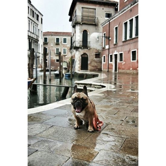 Venezia Italy Canon Canon_official Frenchies Bulldogs Portrait Customportrait Gonzothunder Gtcompany Bully Frenchzoneonly Bullyfun