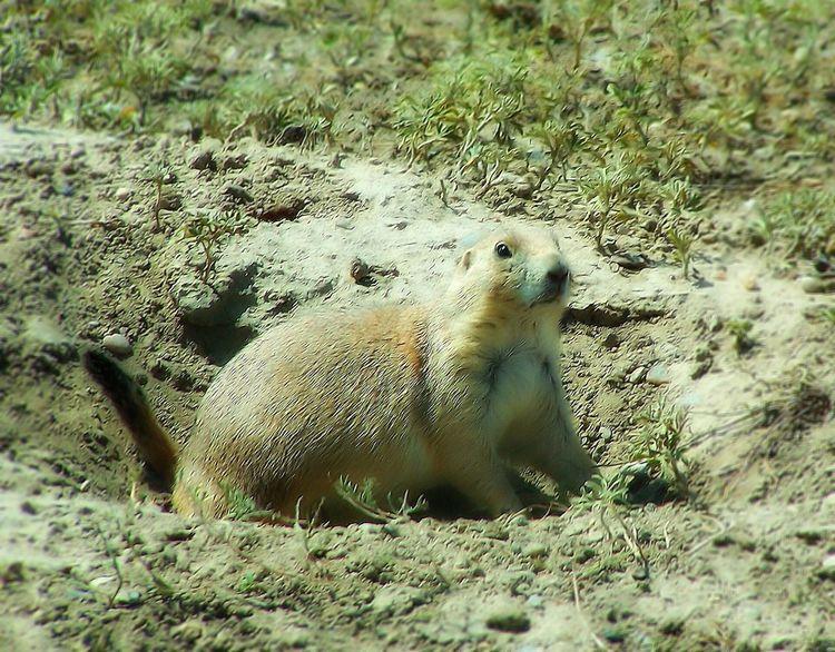 Prairie Dog🐹 Prairiedog Prairie Dogs Prairiedogs Prairie_collection Prairie Scenes Wildlife Photography Wildlife & Nature Wildlife Photos Photographing Wildlife A View Of Wildlife