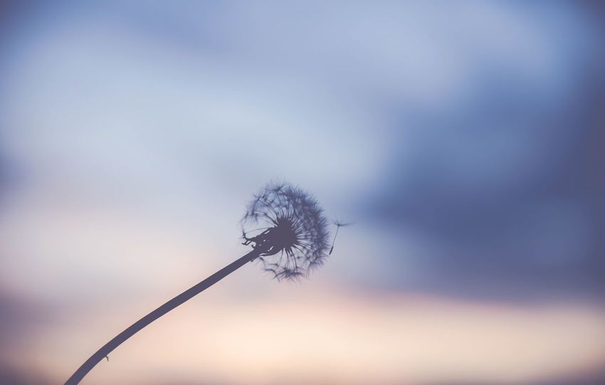silhouette of a dandelion with blurred sunset in background Beauty In Nature Close-up Day Flower Flower Head Focus On Foreground Fragility Freshness Growth Nature No People Outdoors Plant Sky Softness Winter