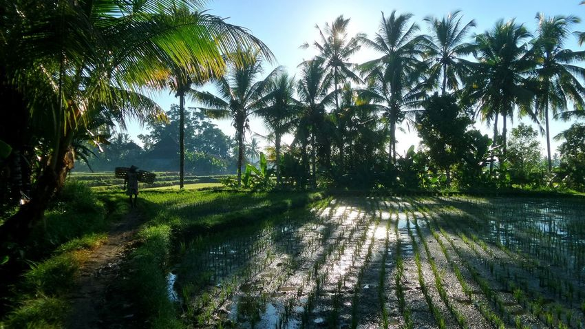 Bali sunrise Bali Bali, Indonesia Beauty In Nature Green Green Color Jeanmart Jeanmart Landscape Payogan Rice Field Ricefields Scenics Tourism Tranquility Travel Destinations Tree Ubud Ubud, Bali Vacations Verybalitrip Water Sunrise The Great Outdoors - 2016 EyeEm Awards