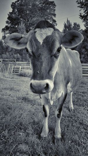 Dairy Cow  Taking Photos Walking Around Upclose And Personal