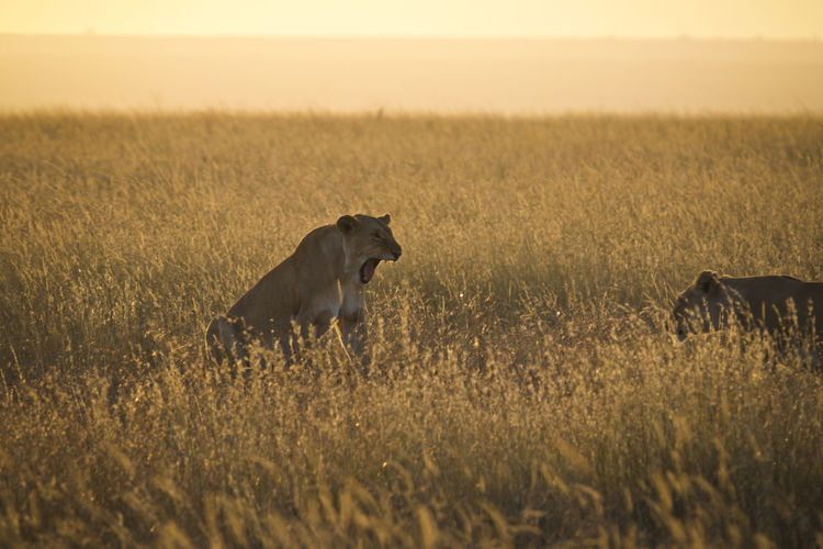Side view of lioness on grassy field during sunset