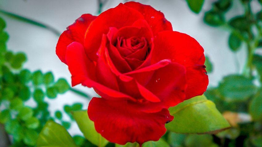 KissFromARose Nature Flores Eyeemporto