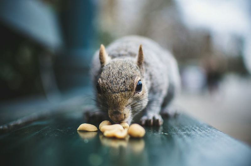 Close-up of squirrel eating food on bench