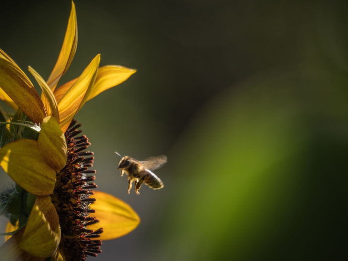 Close-Up Of Bee Buzzing By Flower