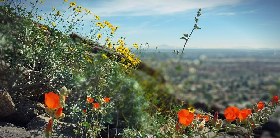 Arizona wildflowers Flower Plant Nature Growth Sky Tree Wildflower Outdoors Beauty In Nature Summer Flowerbed No People Cloud - Sky Multi Colored Day Close-up Agriculture Fragility Freshness Poppy