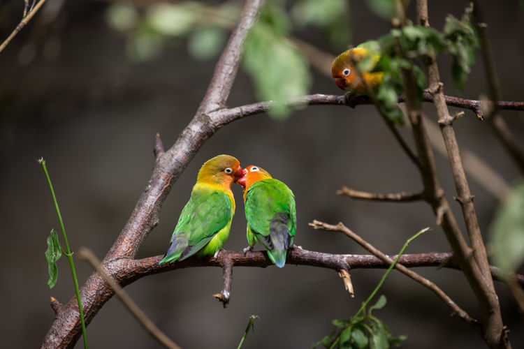 Parakeets perching on branch