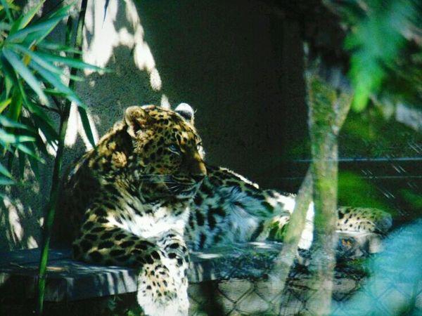 Leopard Fiercefelines Portland Zoo