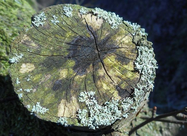 Beauty In Nature Close-up Focus On Foreground Green Lichen Log Natural Pattern Nature Outdoors Tandlehill Park