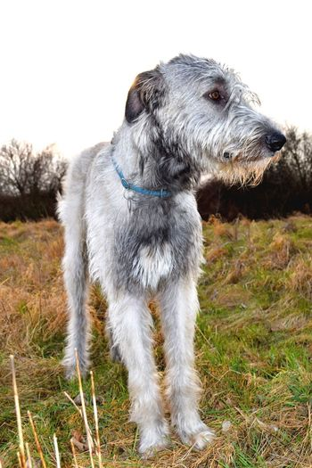 Taking Photos Check This Out Cheese! A Walk In The Park Dog Of The Day Cearnaigh Dog Of My Life Irish Wolfhound Dog Walk DogLover❤💓💜🐾 I Love My Dog ❤ Dog Dogs Of EyeEm My Dogs Are Cooler Than Your Kids Dog Photography 2016 February 2016 Winter 2016 The Places I've Been Today How's The Weather Today? Evening Light Evening Walk Evening Glow