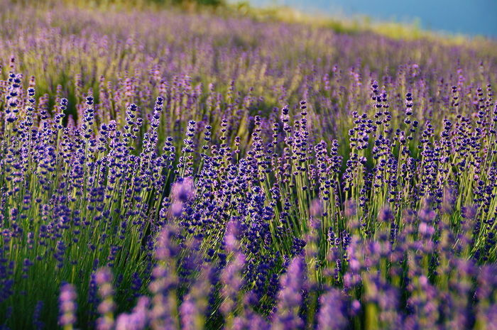 Early morning lavenders Morning Agriculture Alternative Medicine Aromatherapy Beauty Beauty In Nature Day Field Flower Growth Herb Herbal Medicine Lavender Lavender Colored Nature No People Outdoors Perfume Pilis Plant Purple Scented