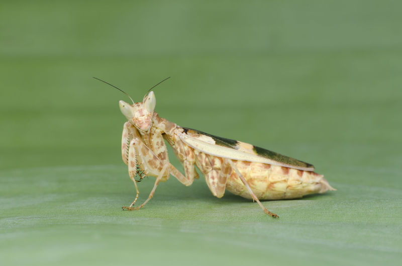 flower mantis,