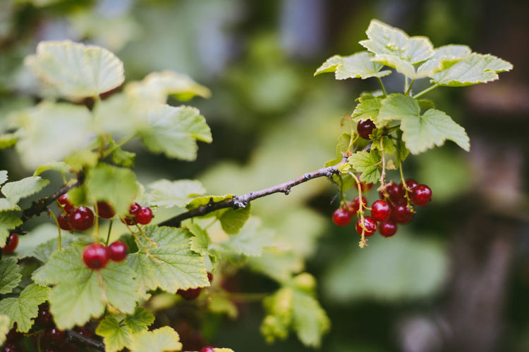 Beauty In Nature Berry Fruit Close-up Day Focus On Foreground Food Food And Drink Freshness Fruit Green Color Growth Healthy Eating Leaf Nature No People Outdoors Plant Plant Part Red Red Currant Ripe Rowanberry Tree Wellbeing