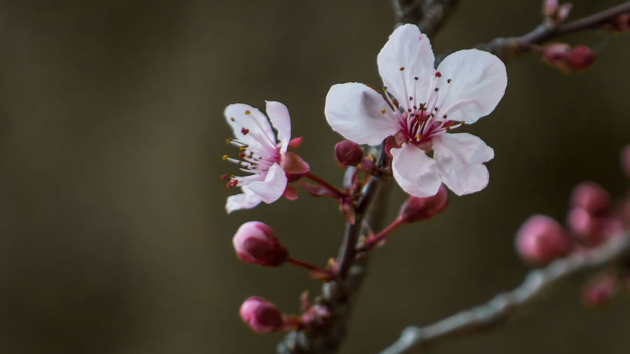 Apple Blossom Beauty In Nature Blossom Botany Branch Close-up Day Flower Flower Head Fragility Freshness Growth Nature No People Outdoors Petal Pink Color Plum Blossom Selective Focus Springtime Stamen Tree Twig White Color