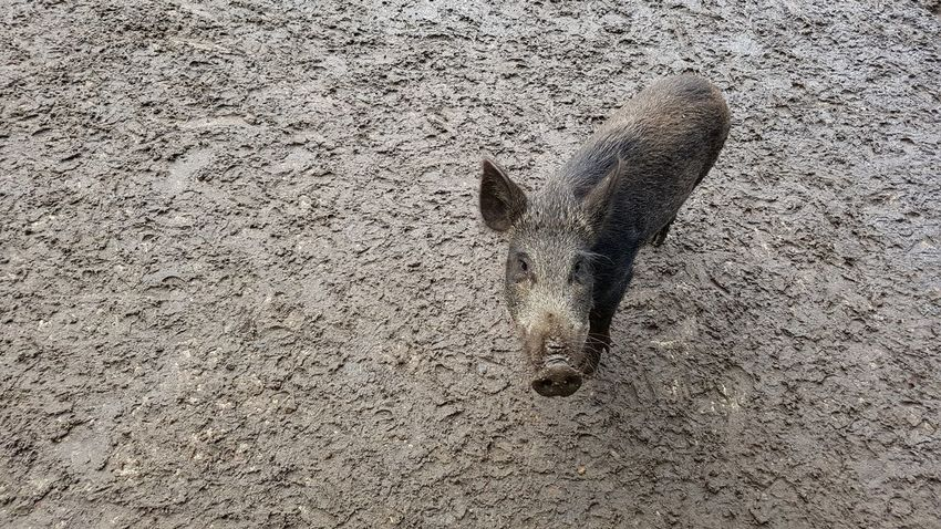"""""""A wild pig taking a mud bath."""" Textured  No People Outdoors Animals In The Wild Nature Close-up Animal Themes Mud Mud Bath Rural Rural Scene Pig Animal Wildlife Animal Animals Animal Photography Animals In The Wild Wild Pig Wild Pigs Wildlife Wildlife & Nature Wildlife Photography Wild Boar Be. Ready."""