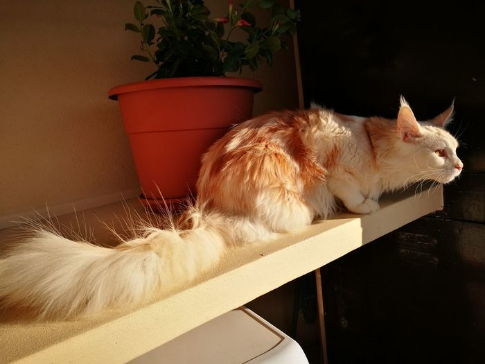 Close-up of maine coon relaxing