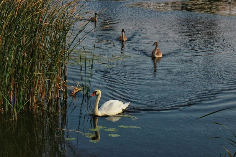 Swans Nature Animal Themes Swans Wild Birds Bird Water Swimming Lake Water Bird Young Animal