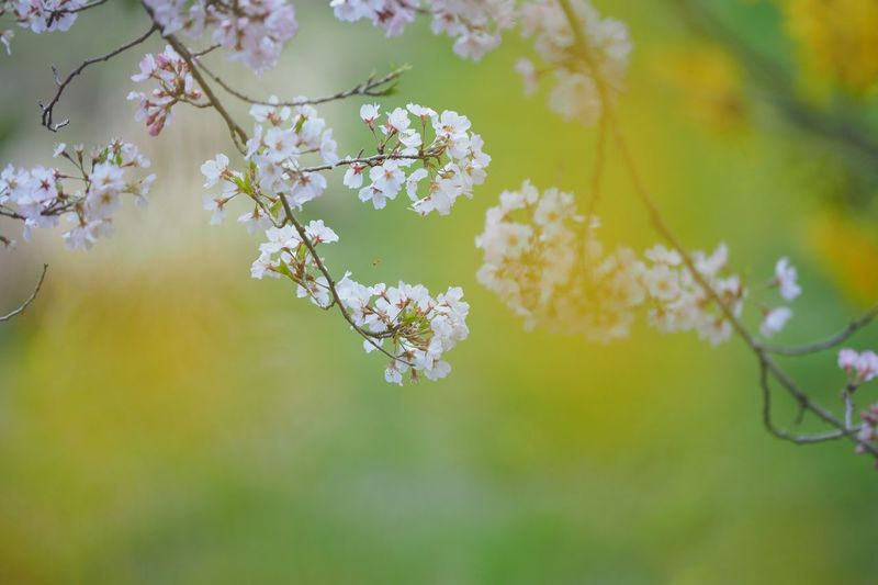 繰り返し繰り返し Nature Flower Growth Beauty In Nature Fragility Freshness Close-up Springtime Blossom Plant Outdoors Tree Branch Blooming Day Cherry Tree Cherry Blossoms EyeEmNewHere EyeEm Best Shots EyeEm Nature Lover 桜 小松乙女 Olympus OM-D EM-1 雨が冷たいと君に。