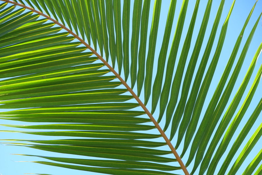 palm tree leaf Coconut Leaf Palm Leaf Palm Tree Palm Tree Leaves Palm Trees On The Beach Nature Backgrounds Beauty In Nature Close-up Fragility Freshness Full Frame Green Color Growth Leaf Nature Nature_collection Naturelovers Outdoors Palm Leaf Palm Tree Palm Tree And Sky Palm Trees Palm Trees ❤❤ Plant Tree