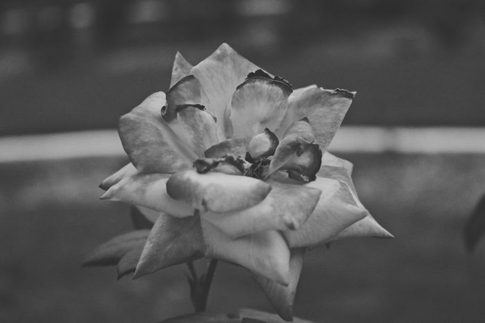 Burn Outro 🔥 Shot By Tino EyeEm Nature Lover EyeEmNewHere The Week on EyeEm Blackandwhite Createexploretakeover Canon 70d VSCO Randxmfilms EyeEm Selects Flower Petal Fragility Nature Flower Head Focus On Foreground Close-up Growth Beauty In Nature Plant Freshness Outdoors