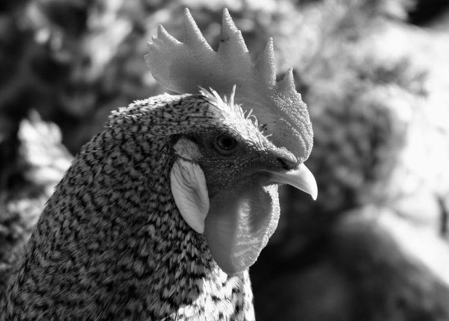 Portrait of a Chicken in Monochrome Agriculture Barred Plymouth Rock Chicken Copy Space Animal Crest Animal Themes Animal Wildlife Animals In The Wild Beak Bird Black And White Chicken - Bird Close-up Cockerel Countryside Domestic Animals Focus On Foreground Livestock Monochrome Nature No People One Animal Outdoors Peacock Portrait Rooster