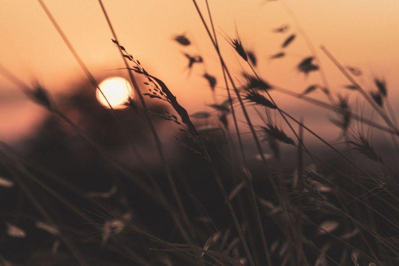 Close-up of stalks against sunset
