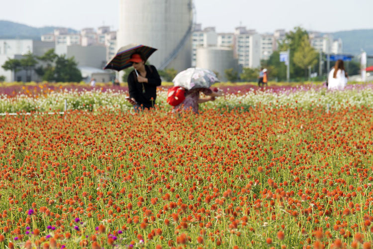 festival of globe amaranth flower with bellvedere at Nari Park in Yangju, Gyeonggido, South Korea Globe Amaranth Flower Adult Agriculture Architecture Beauty In Nature Built Structure Day Field Flower Freshness Globe Amaranth Growth Lifestyles Men Nature Occupation Outdoors People Real People Red Sky Two People Water Women Working