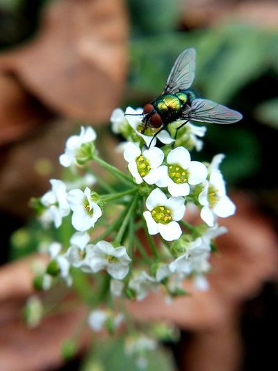 Insect Flower Fly One Animal Beauty In Nature Flower Head Botany In Bloom Day Plant Nature Close-up Macro Maximum Closeness Mobilephotography LeTv X600 LeEco Letv Macro Lens