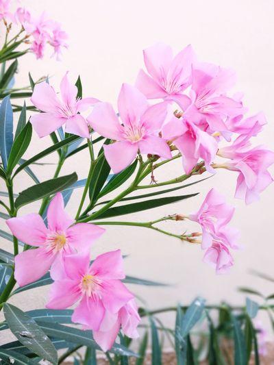 Flower Head Flower Pink Color Peony  Springtime Pastel Colored Blossom Close-up Plant