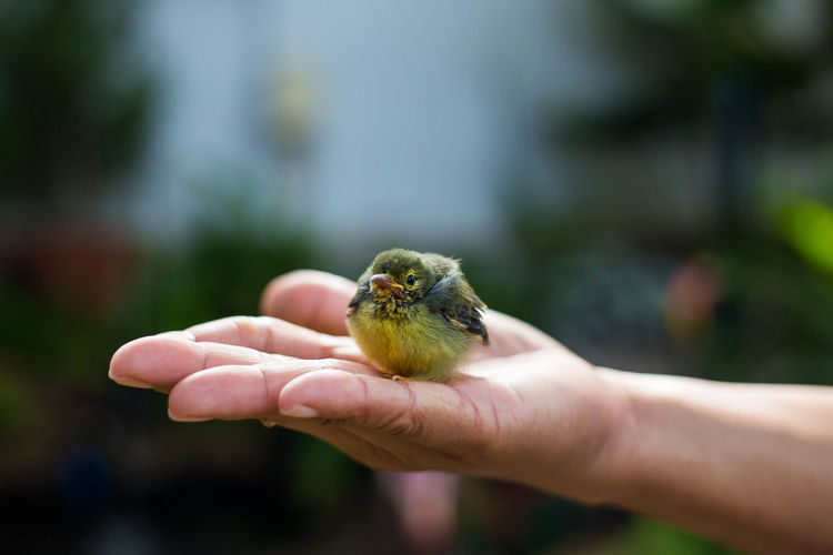 A small yellow bird perched on the hand