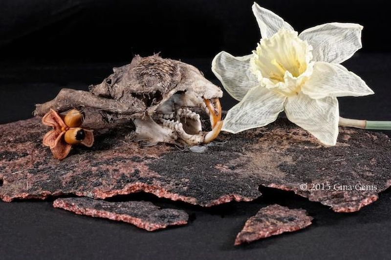 Squirrel Skull, Withering Daffodil, and Seed. Still Life Dead Flowers Nature Squirrel Skull