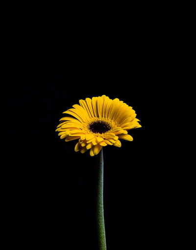 Flower Flowering Plant Vulnerability  Plant Fragility Yellow Flower Head Inflorescence Freshness Studio Shot Petal Beauty In Nature Close-up Black Background Growth Copy Space Pollen Indoors  Nature No People Sepal Still Life