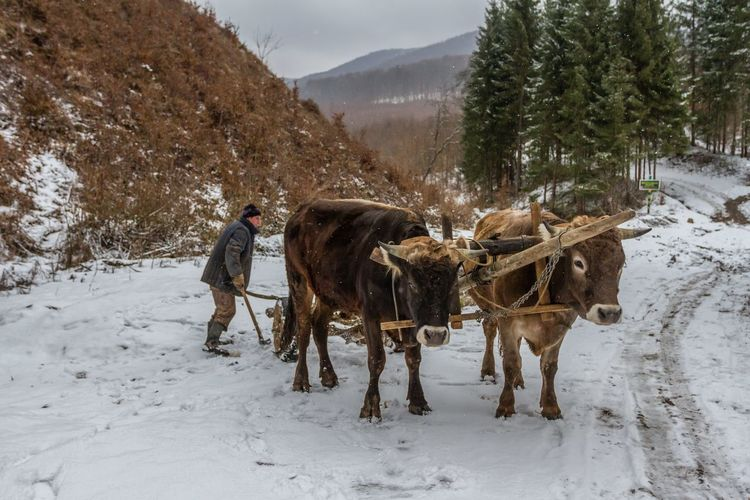 Carpathian Mountains Maramures Romania Winter Beauty In Nature Cold Temperature Cold Temperture Day Domestic Animals Forest Full Length Livestock Maramures Roumanie Mountain Nature One Man Only One Person Outdoors Oxen Oxen On The Road Real People Snow Warm Clothing Winter Working Shades Of Winter