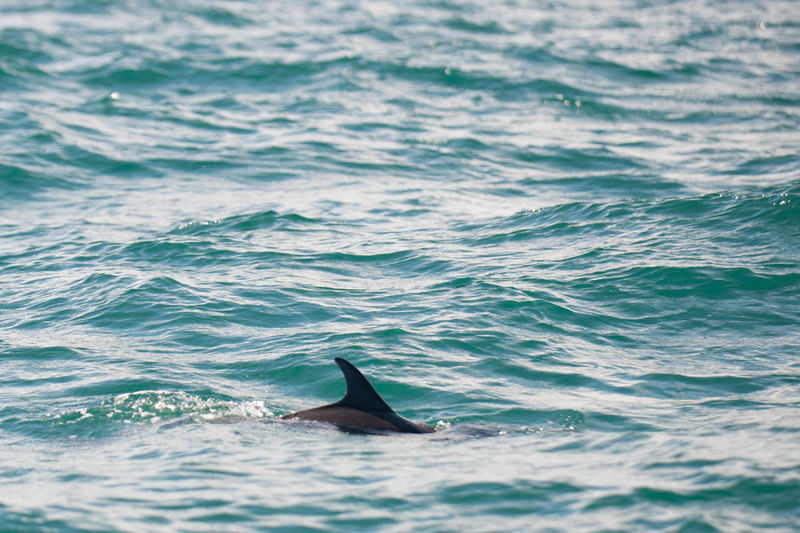 Dorsal fin of dolphin emerges from water