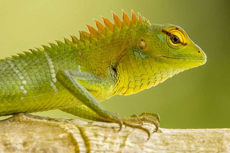 Close-up of iguana on branch