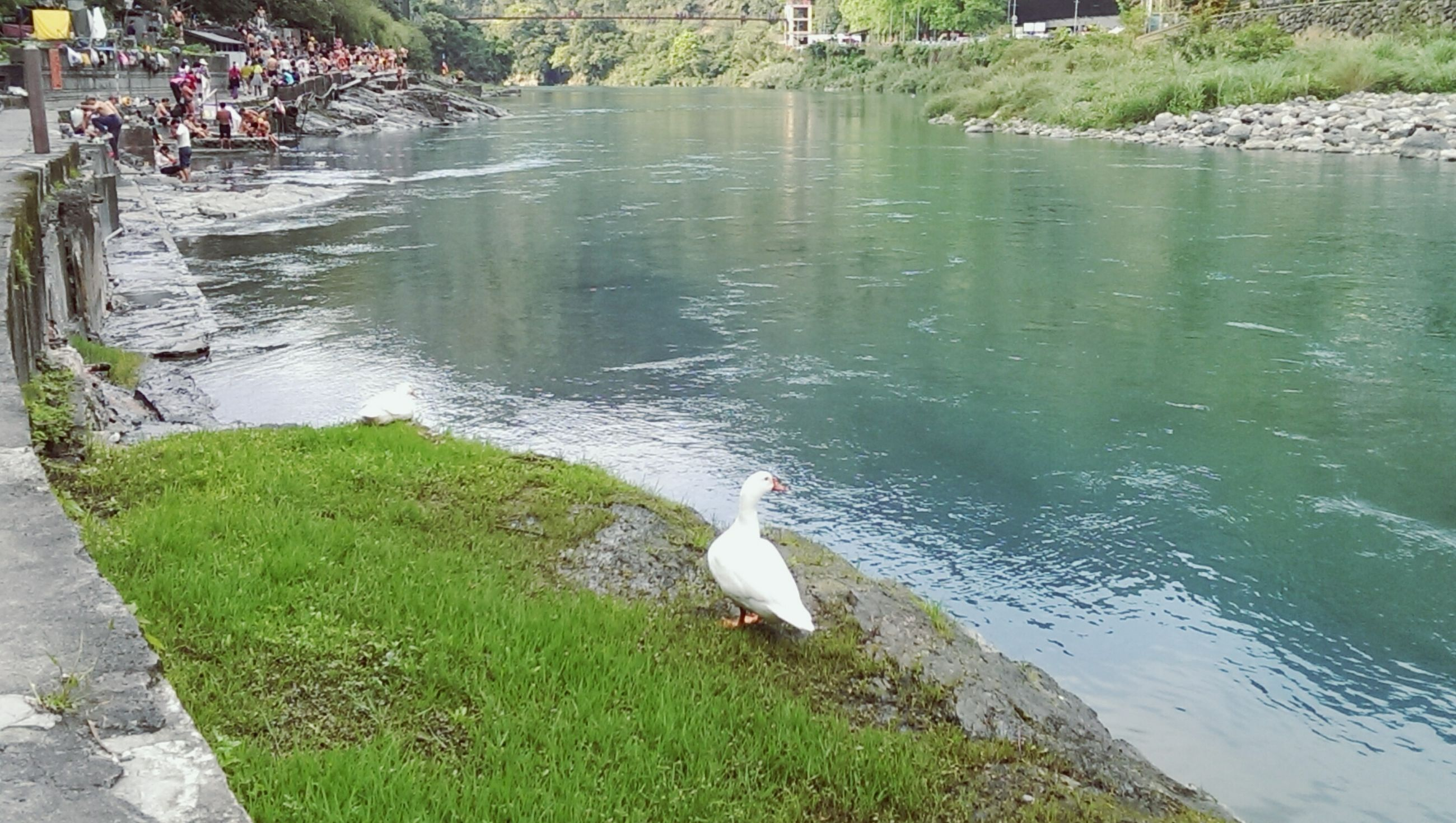 animal themes, water, bird, animals in the wild, wildlife, swimming, swan, duck, lake, high angle view, pond, park - man made space, nature, two animals, outdoors, day, rippled, grass, sunlight, water bird