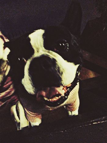 Mi Rocko estrenando su atuendo Mexico DogLove Boston Terrier Taking Photos