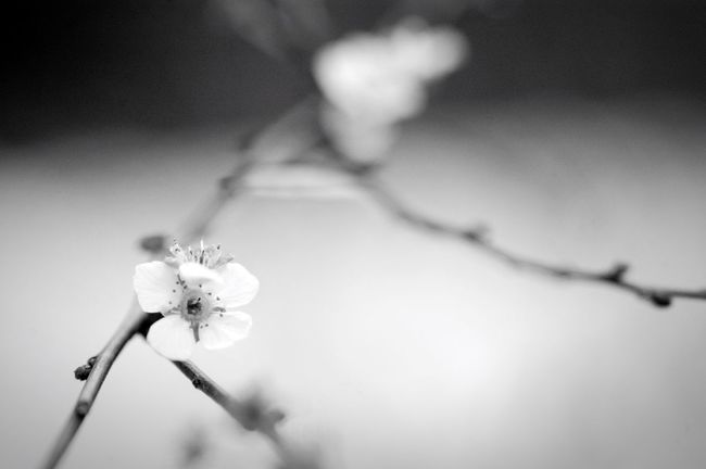 Flower Fragility Nature Beauty In Nature Flower Head Petal Monochrome 季節外れ ゆきやなぎ