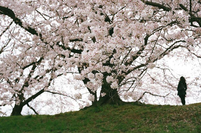 Tree Cherry