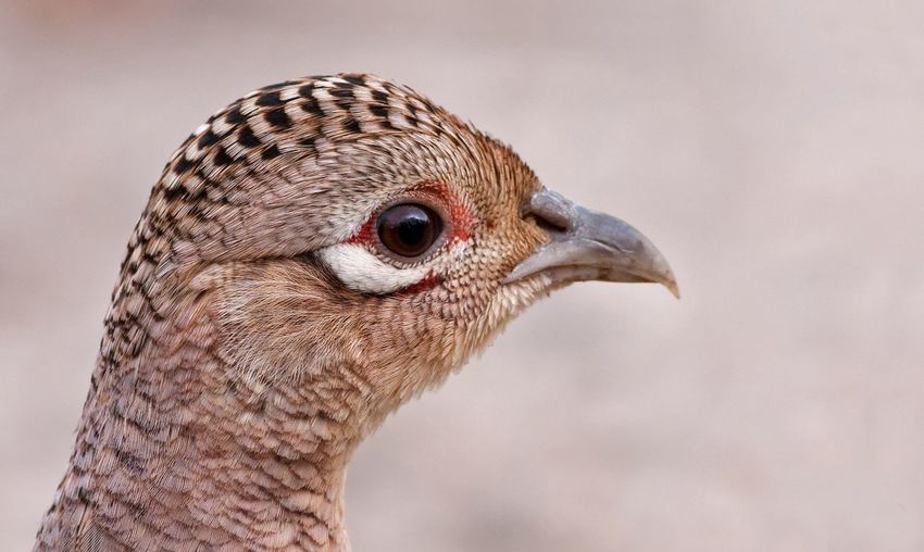 Close-up portrait of pheasant