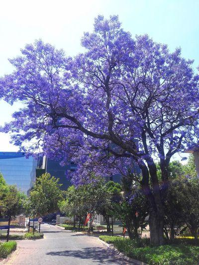 View of flowering tree in park