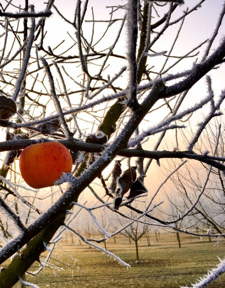 Apple - Fruit Apples Bare Tree Branch Field Frost Frosty Nature No People Orange - Fruit Orange Color Outdoors Sunset Tree
